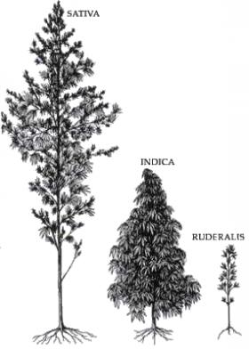 Differences Between Sativa and Indica Marijuana