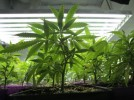 Medical Marijuana Gardens Could Spring Up in Vancouver, Washington Under Proposed Ordinance
