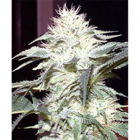 Old Hippie Strain Story: White Widow