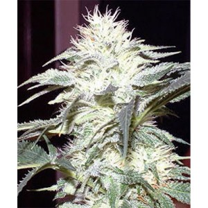 White Widow source: http://canadianseedbank.ca/image/cache/data/white-widow2-900x900.jpg