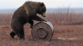 Russian Bears Are Stealing Jet Fuel To Get High, True Story!