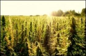 Hemp Legalization Amendment Introduced for Farm Bill