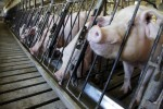 Marijuana-Fed Pigs Are Bigger and 'More Savory', Farmers Say