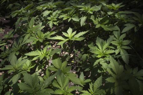 Medical Marijuana Isn 39 T Immune From Seizure Weedist