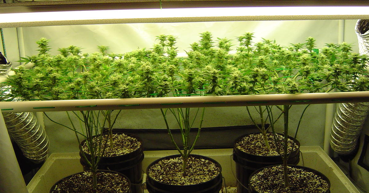 video cultivo marijuana: