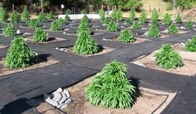 Local California Medical Marijuana Cultivation Laws