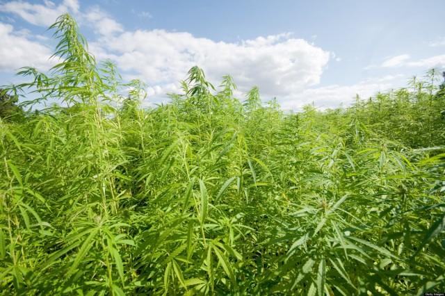 Can Cannabis Combat Pollution?, Source: http://i.huffpost.com/gen/1147273/thumbs/o-HEMP-FARMING-facebook.jpg