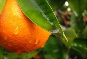 Terpene Profile: Limonene
