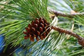 Terpene Profile: Pinene