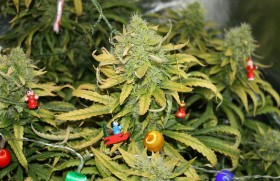 50 Year Old Caught With Giant Cannabis Plant Christmas Tree