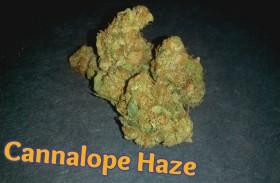 My Favorite Strains: Cannalope Haze