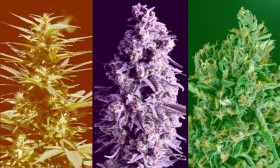 Indica, Sativa, Ruderalis – Did We Get It All Wrong?