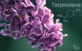 Terpene Profile: Terpinolene