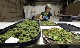 Too Much Weed: Washington Weed Supply Exceeds Demand