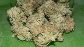 Strain Review: Critical Mass (CBD Strain)
