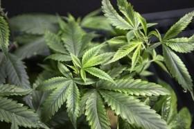 Do Marijuana Prisoners Deserve Amnesty?