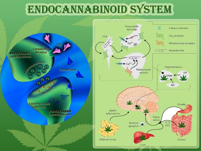 Endocannabinoid System.Cannabis Receptors.Weedist, Source: http://www.exohuman.com/wordpress/2013/03/we-are-wired-to-respond-to-cannabis/